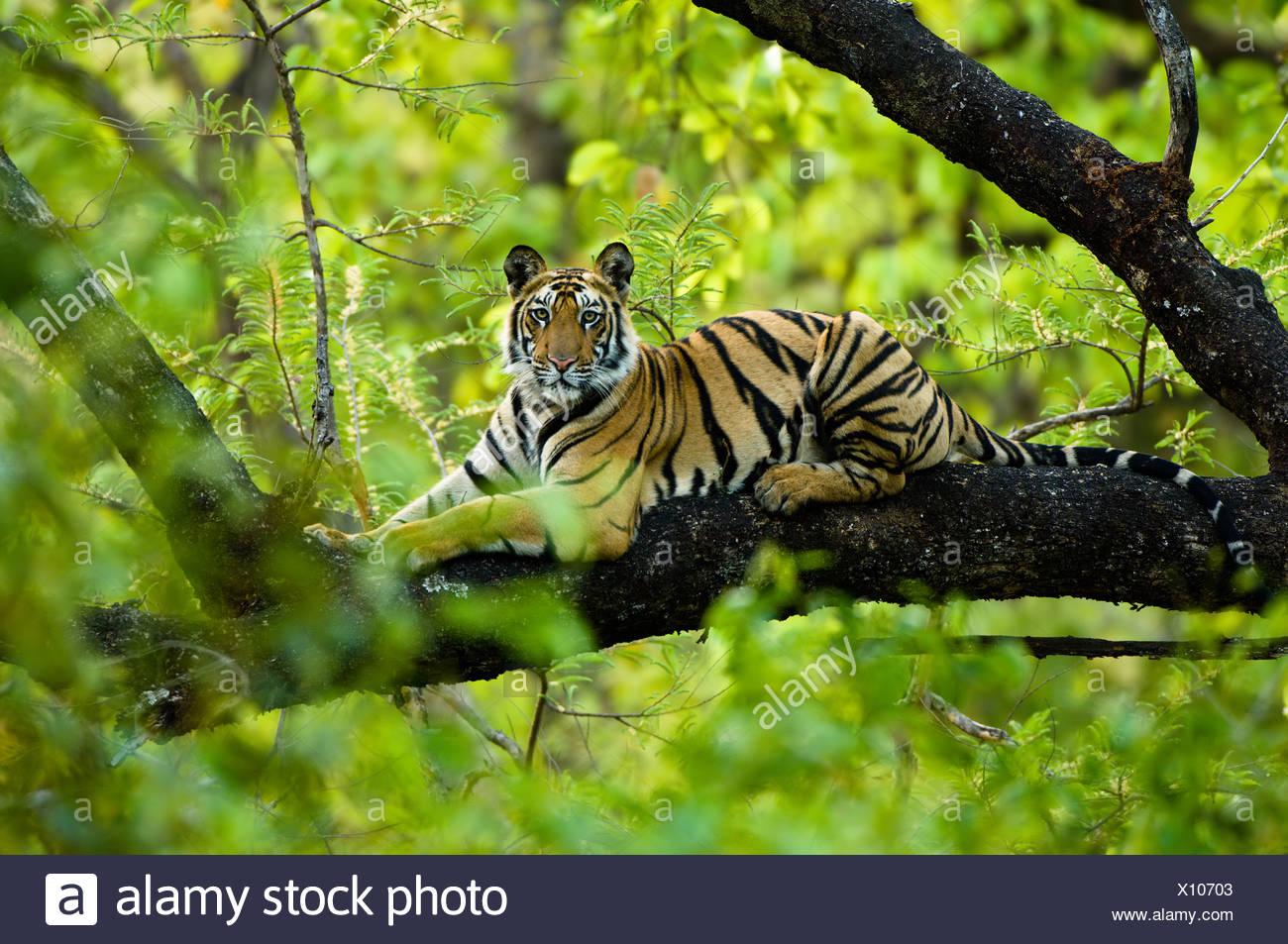 Jugendliche männliche Königstiger (ca. 15 Monate) ruht auf einem Baum. Bandhavgarh NP, Madhya Pradesh, Indien. Stockbild
