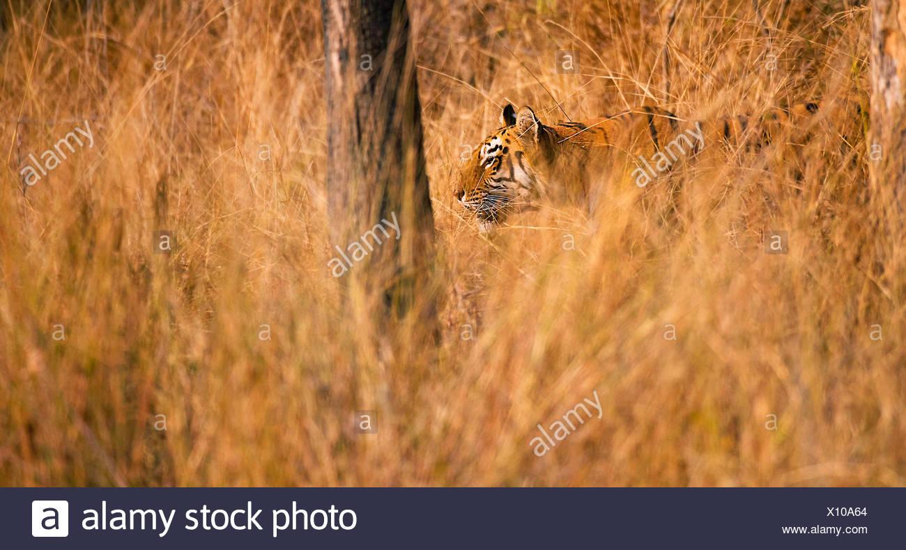 Koenigstiger, Indischer Tiger (Panthera Tigris Tigris), Bengaltiger gut Getarnt Im Hohen Gras, Indien, Tadoba Nationalpark | Werden Stockbild