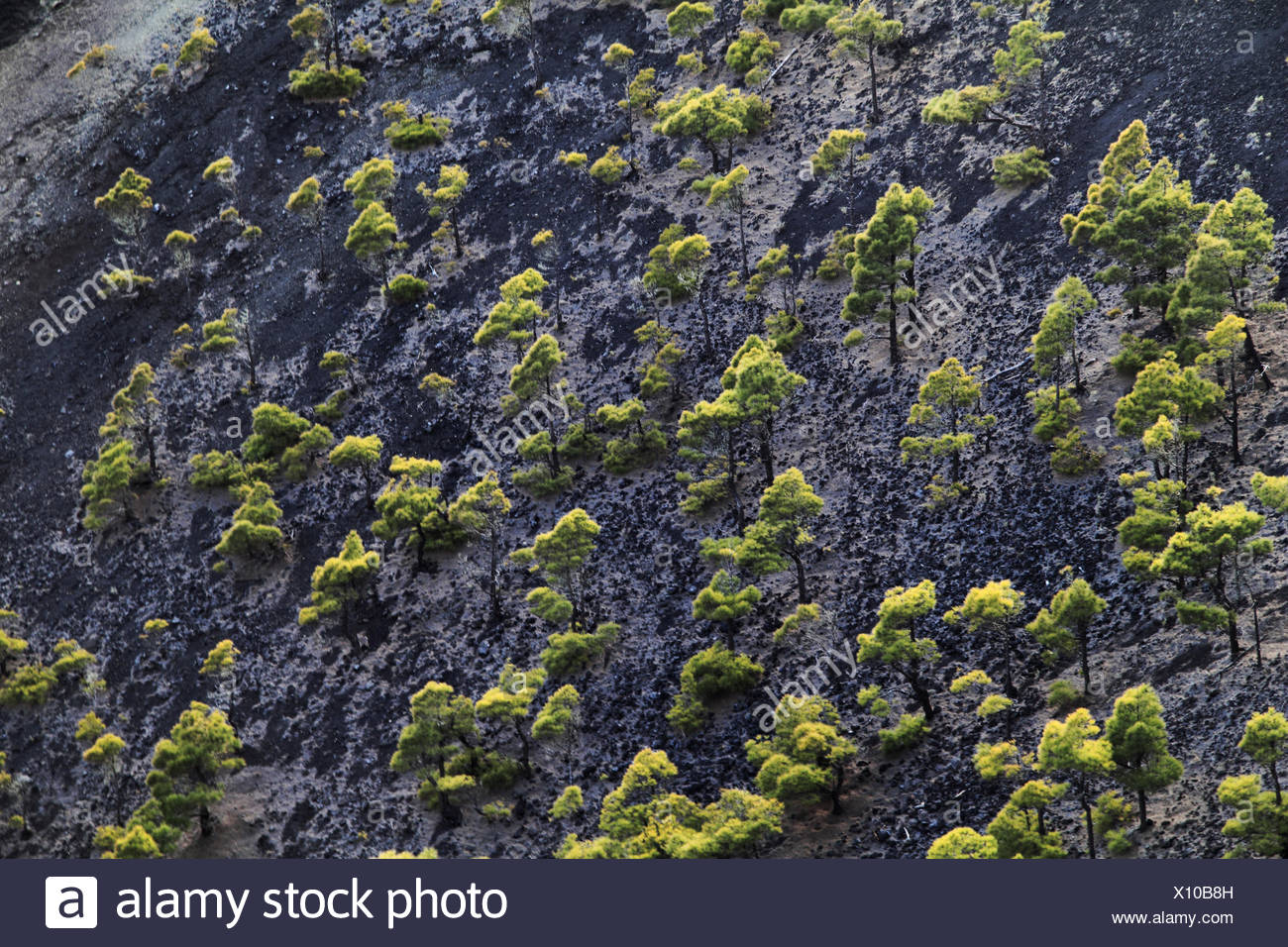 Kanarische Kiefer (Pinus Canariensis), Kiefern wachsen im Krater, Kanarische Inseln, La Palma, Vulkan San Antonio Stockbild