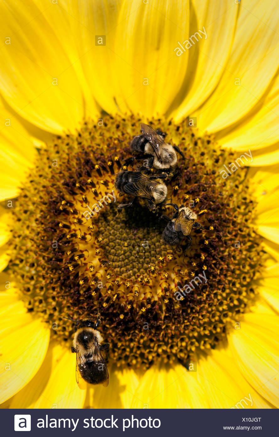 Biene und Sonnenblume. Stockbild