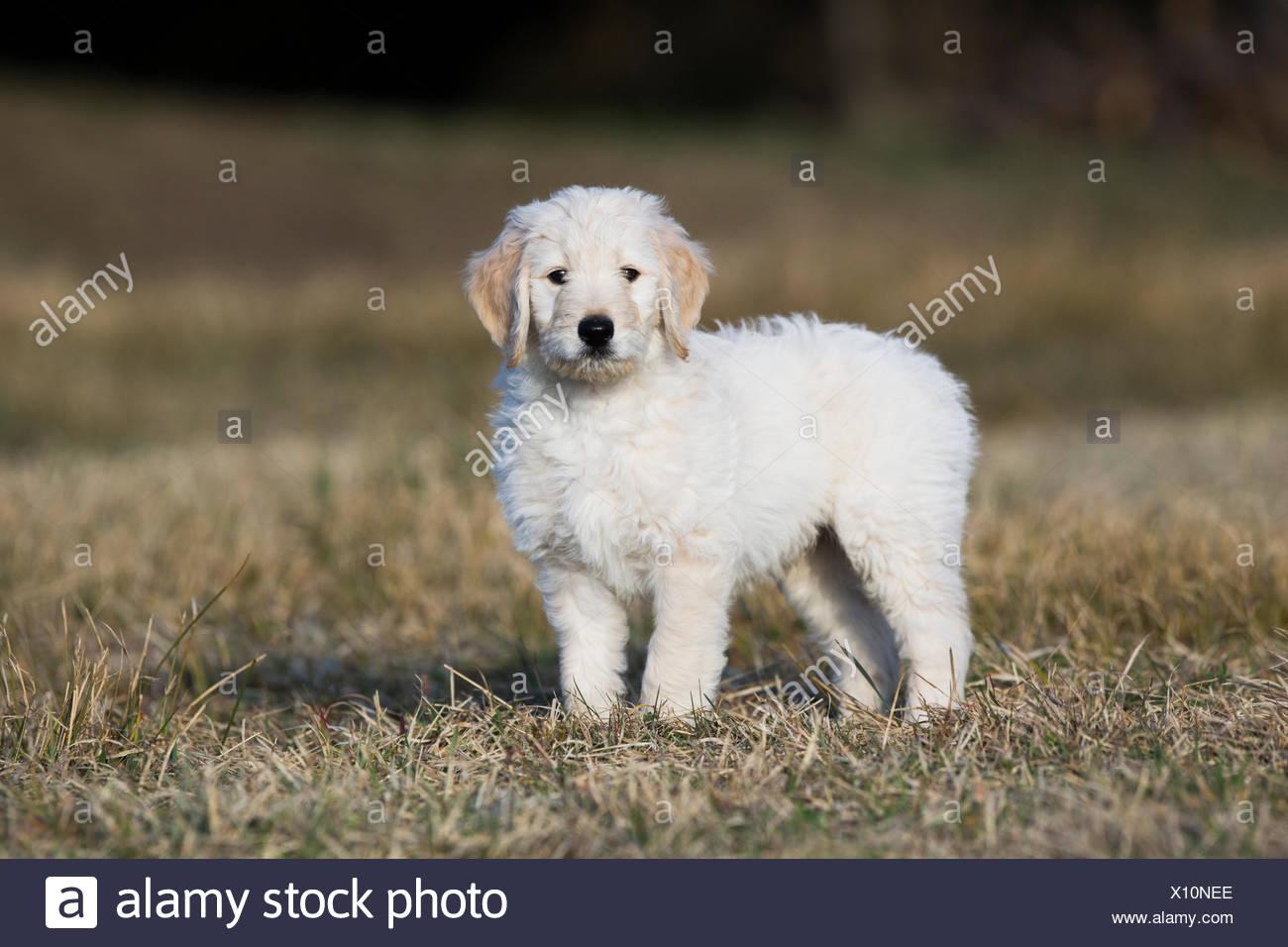 Goldendoodle Auf Der Wiese Welpe Hund Mischling Tirol Osterreich Stockfotografie Alamy