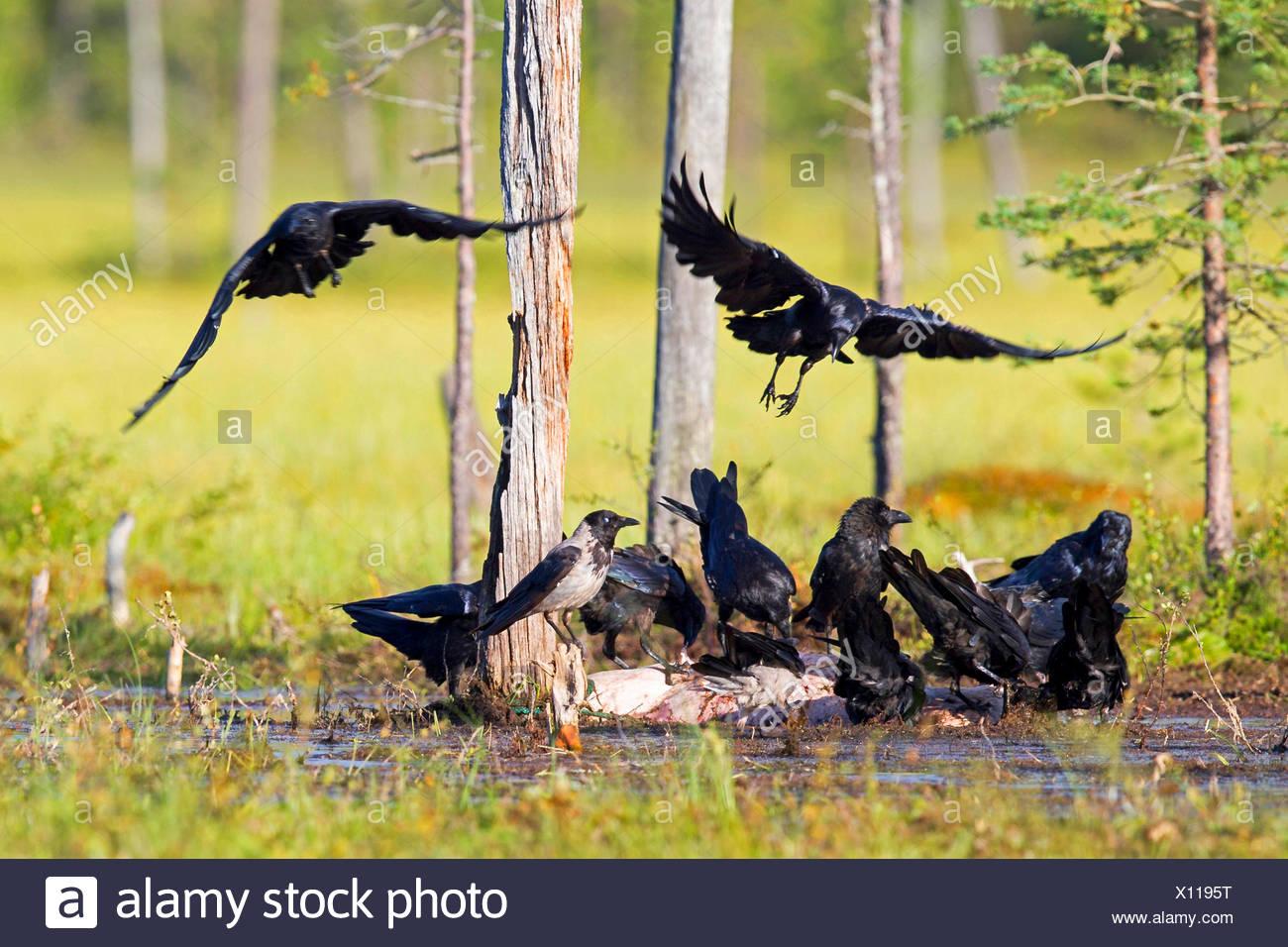 Kolkrabe (Corvus Corax), Truppen an einer Wasserstelle, Kajaani Region Kuhmo, Finnland Kuikka Stockbild