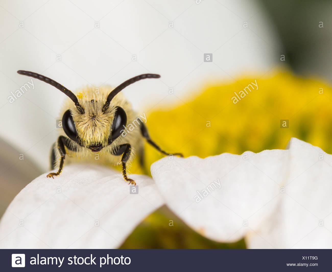 Gipser (Colletes Similis) auf Oxeye Daisy (Leucanthemum Vulgare), männliche Biene Stockbild