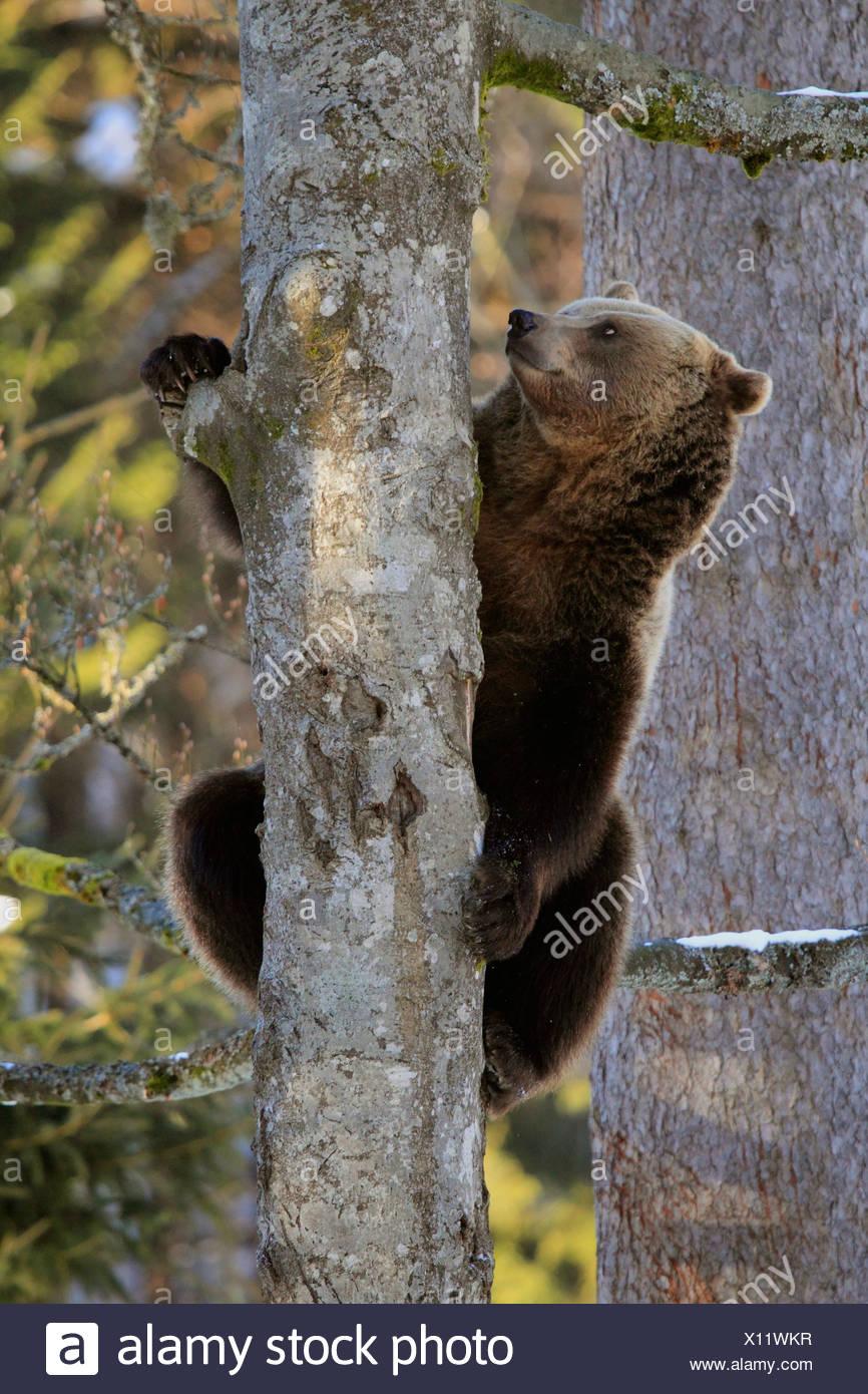 Europäischer Braunbär (Ursus Arctos Arctos), sitzen auf Baum, Deutschland Stockbild