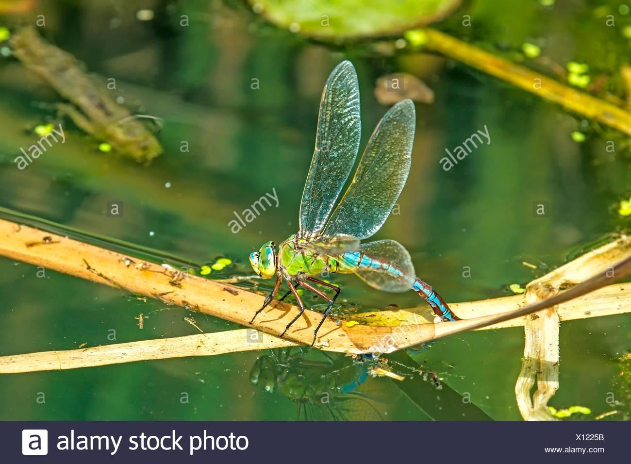 Der Kaiser, Dragonfly, Weibchen Eier in einem Teich in Deutschland Stockbild