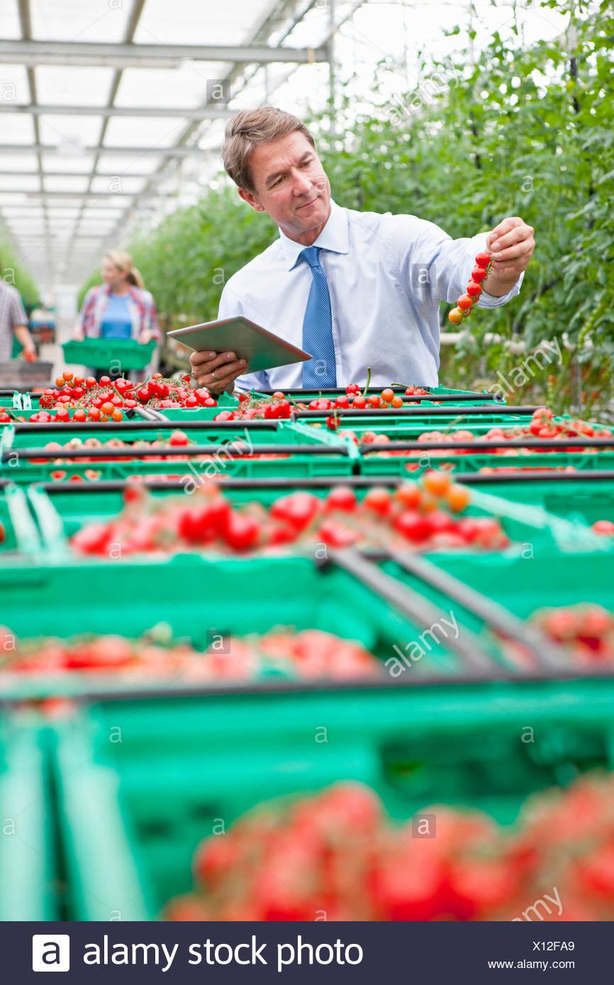 Geschäftsmann mit digital-Tablette Inspektion Reifen Rotwein Tomaten im Gewächshaus Stockbild