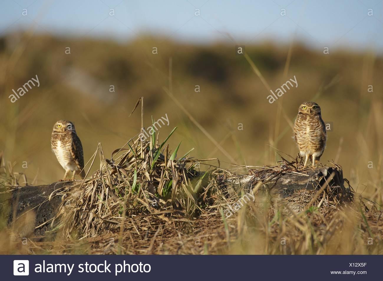 Burrowing owls Stockbild