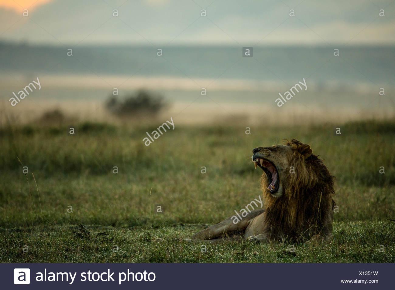 Ein Löwe Panthera Leo mit Mund offen in Kenias Masai Mara National Reserve. Stockbild