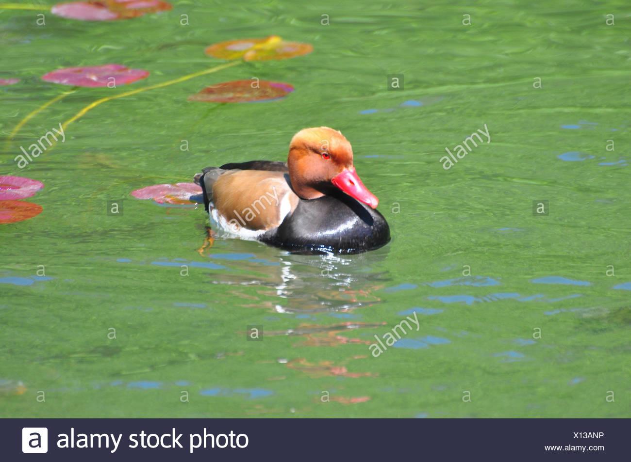 Ornithologie, Kolben Ente, Schwimmen, Stockbild