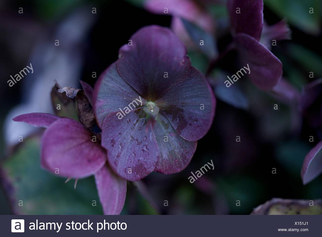 Helleborus Niger Blume. zerbrechlich, stieg Weihnachten, frischen ...
