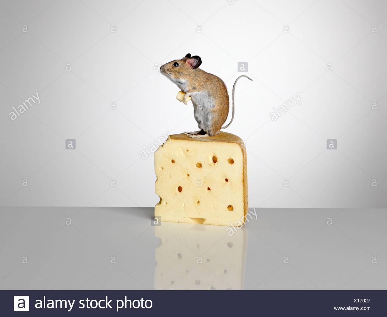 Maus steht auf ein Stück Käse Stockbild