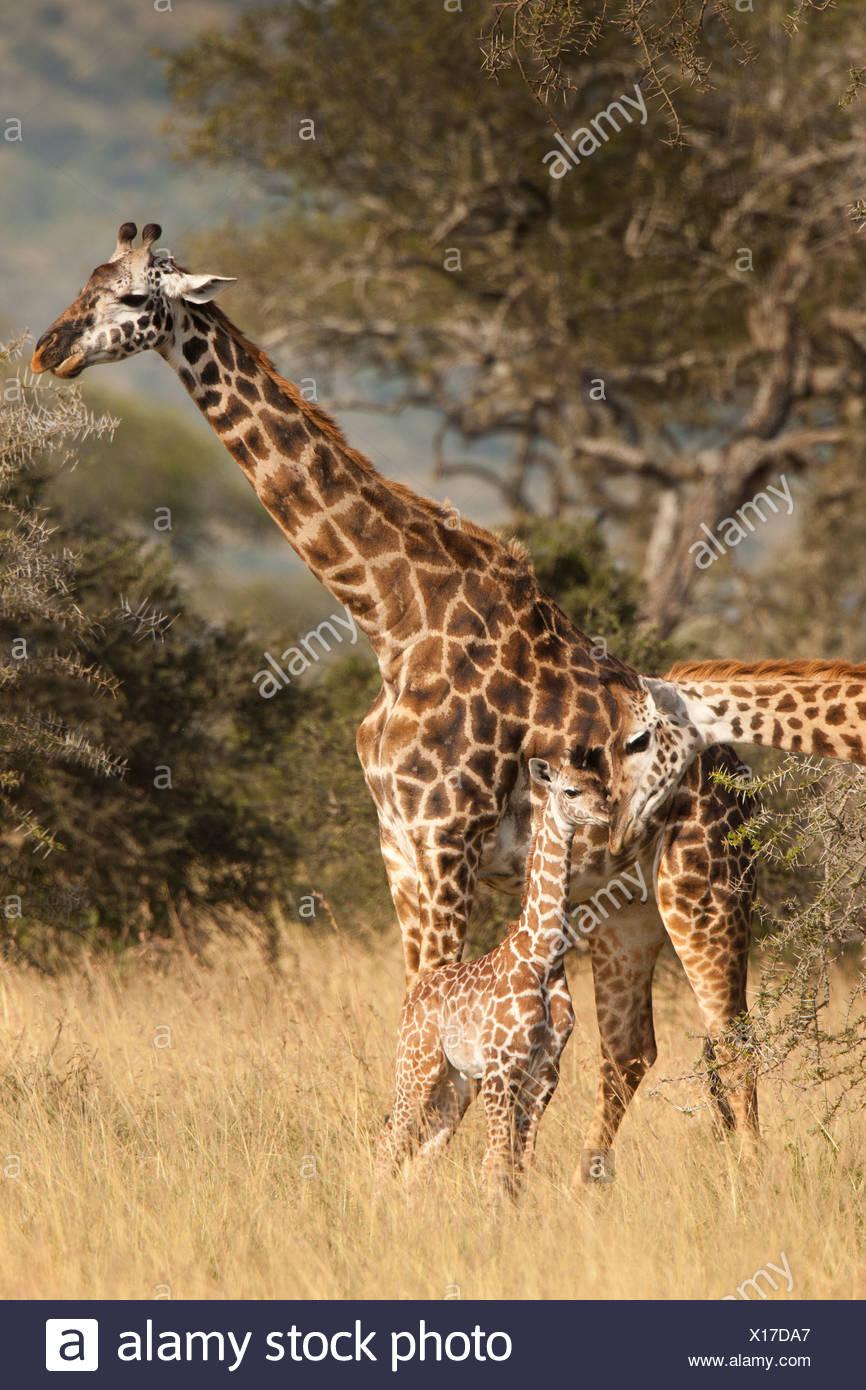 Maasai oder Ebenen-Giraffen-Familie Stockbild