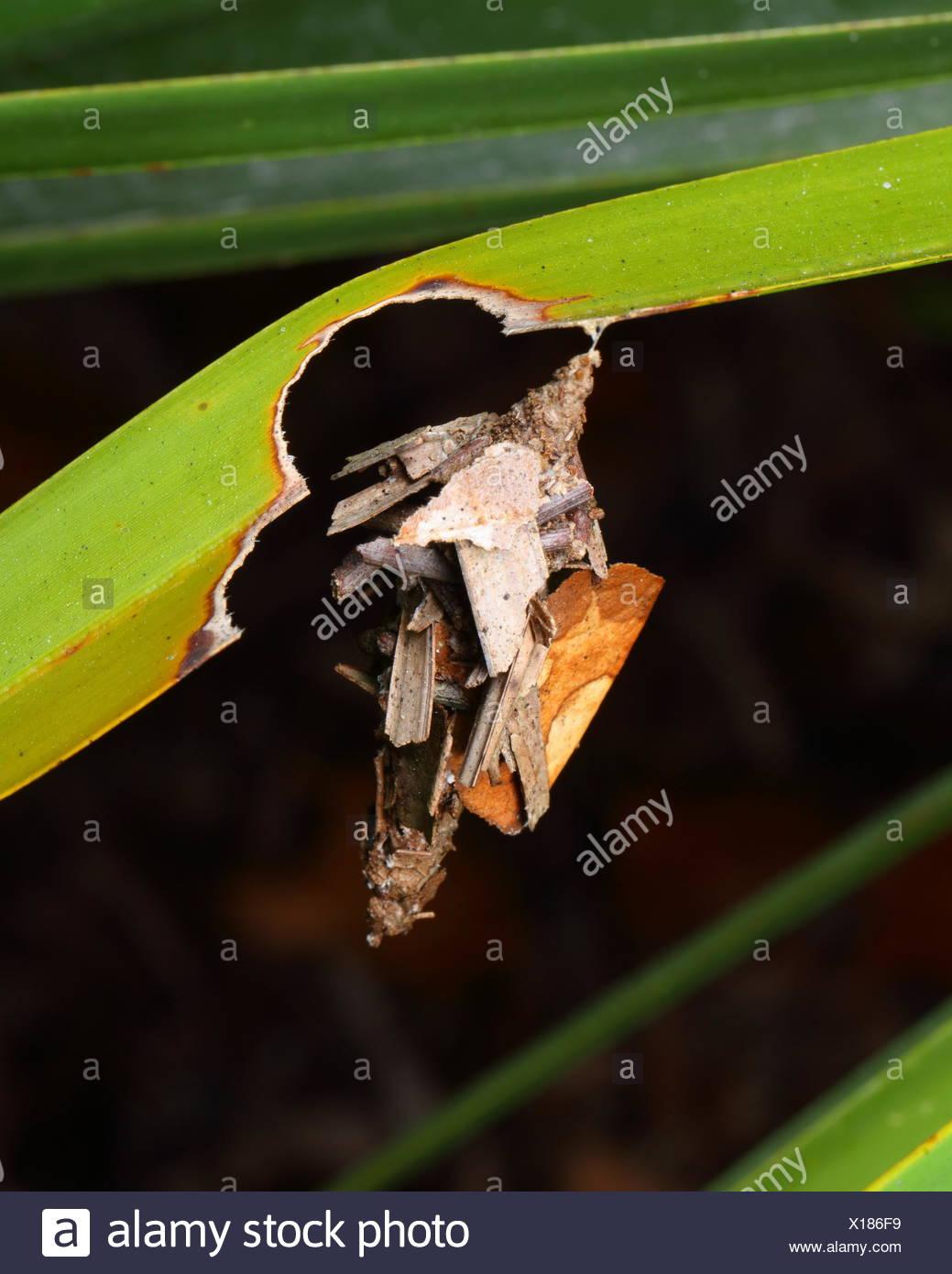 Eine gemeinsame Bagworm, Thyridopteryx Ephemeraeformis, innerhalb seines Gehäuses aus Palmetto geformt. Stockbild