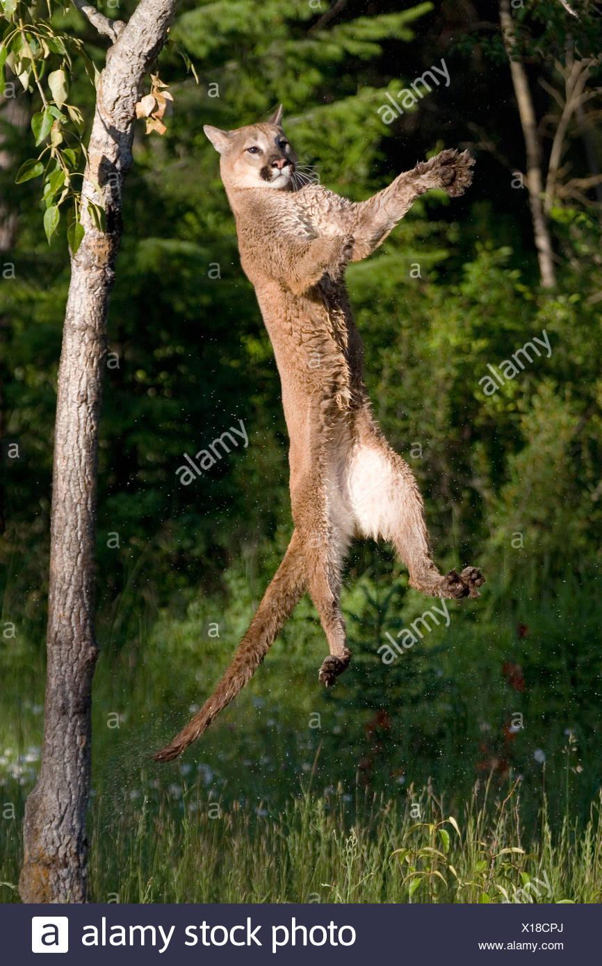 Nach oben springen PUMA (Felis Concolor Stockfoto, Bild