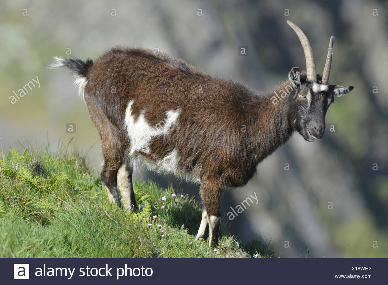 Ziege - Capra hircus Stockfoto