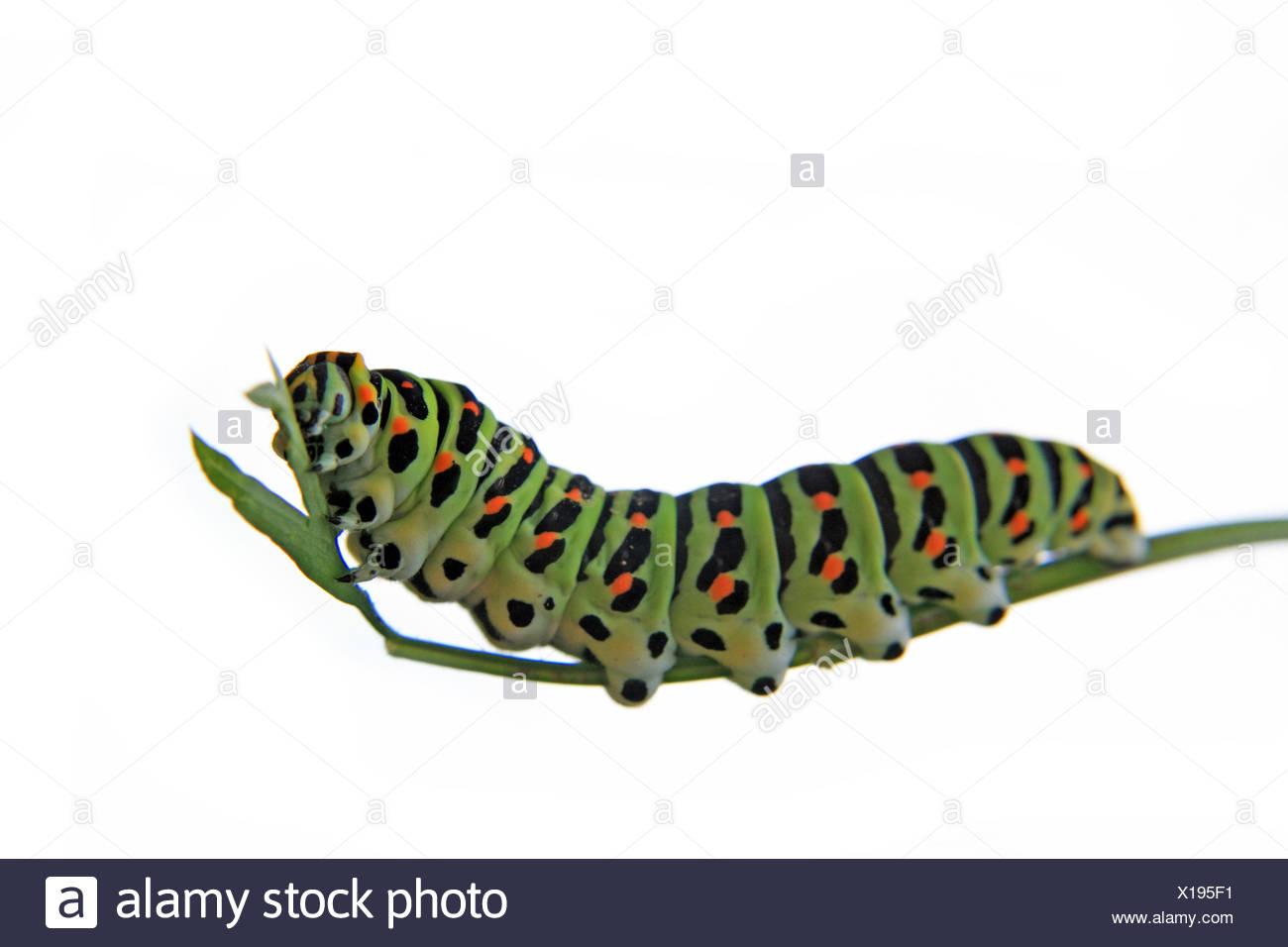 Gemütlich Monarch Raupe Färbung Seite Fotos - Beispiel Business ...