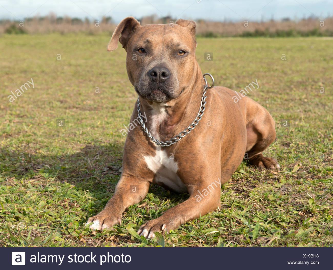 Leiter Der Reinrassigen American Staffordshire Terrier Mit Kragen