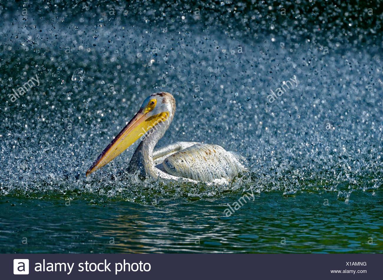 Amerikanischer weißer Pelikan (Pelecanus Erythrorhynchos) im künstlichen Teich durch den Brunnen, Winnipeg, Manitoba, Kanada Stockbild