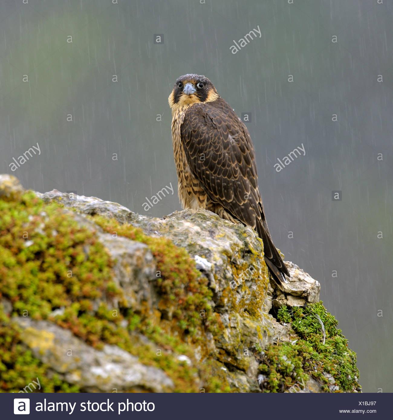 Wanderfalke (Falco Peregrinus), sitzt auf einem felsigen Knoll Jungvogel bei strömenden Regen, Deutschland, Baden-Württemberg Stockbild
