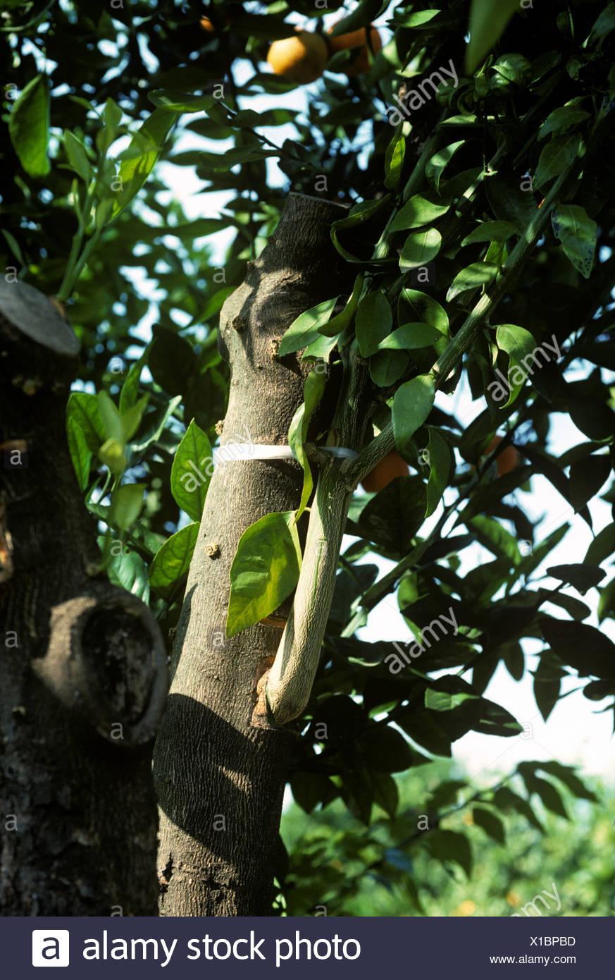 Zweig aufgepfropft auf einem alten Orangenbaum Wurzelstock Spanien Stockbild