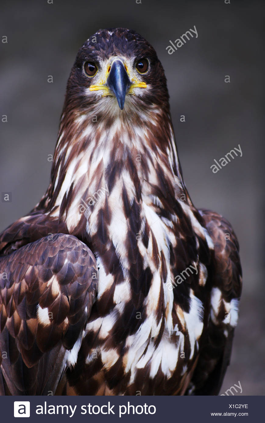 Steinadler (Aquila Chrysaetos) Stockbild