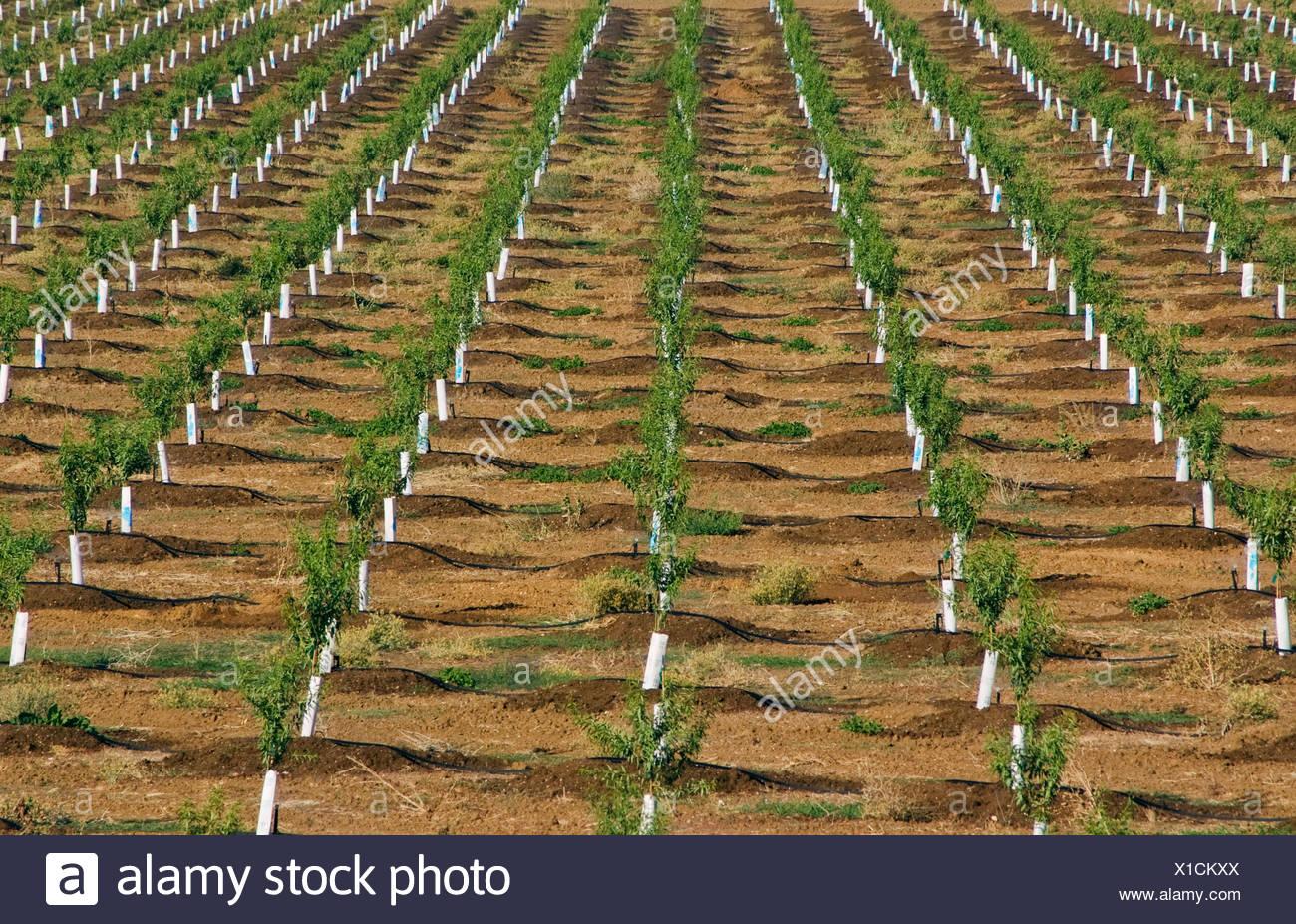 Reihen von jungen Mandelbäume in einem vor kurzem gepflanzten Obstgarten. Die Bäume haben Nagetiere Protektoren um ihre Stämme / California. Stockbild