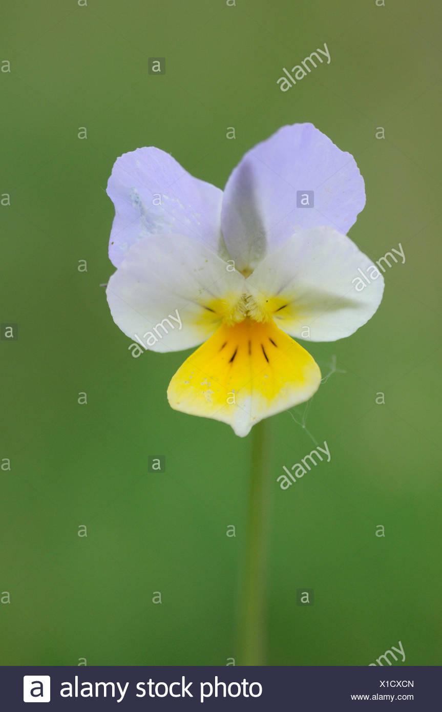 Detailansicht der Blume des Feldes Stiefmütterchen Stockbild