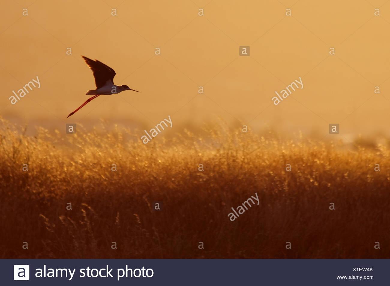 Stelzenläufer (Himantopus Himantopus) im Flug über lange Gräser in der Abenddämmerung, Lesbos, Griechenland Stockbild