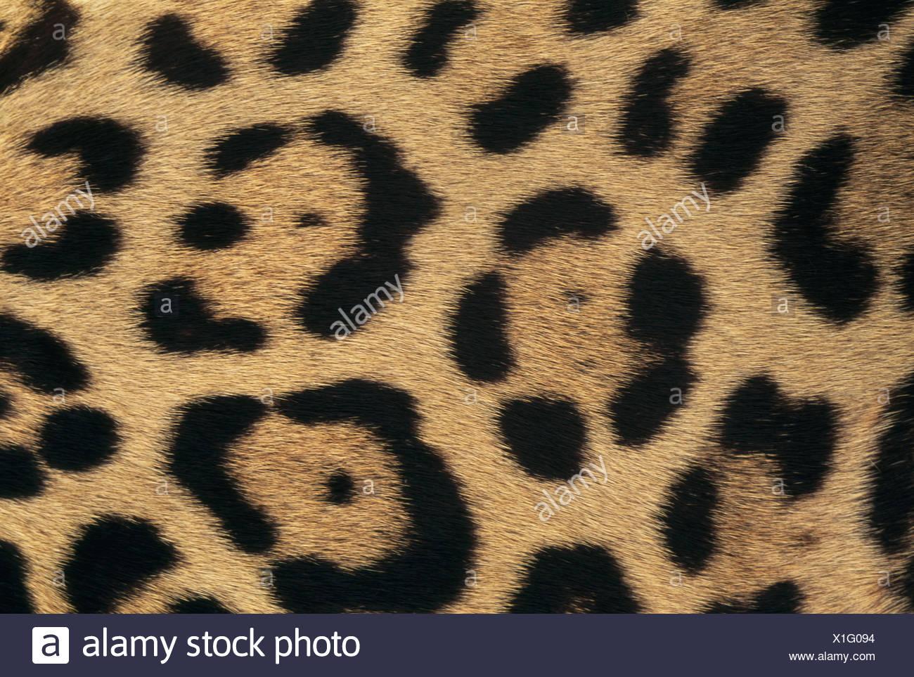 Belize Jaguar Haut Muster Pantheronca Belize Stockbild