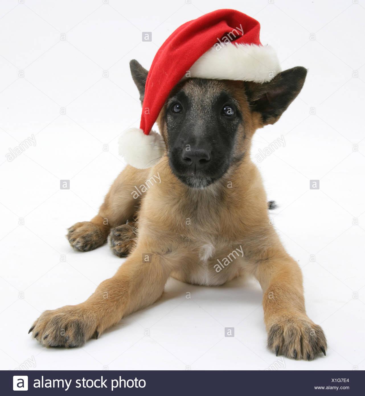 belgischer schäferhund welpen