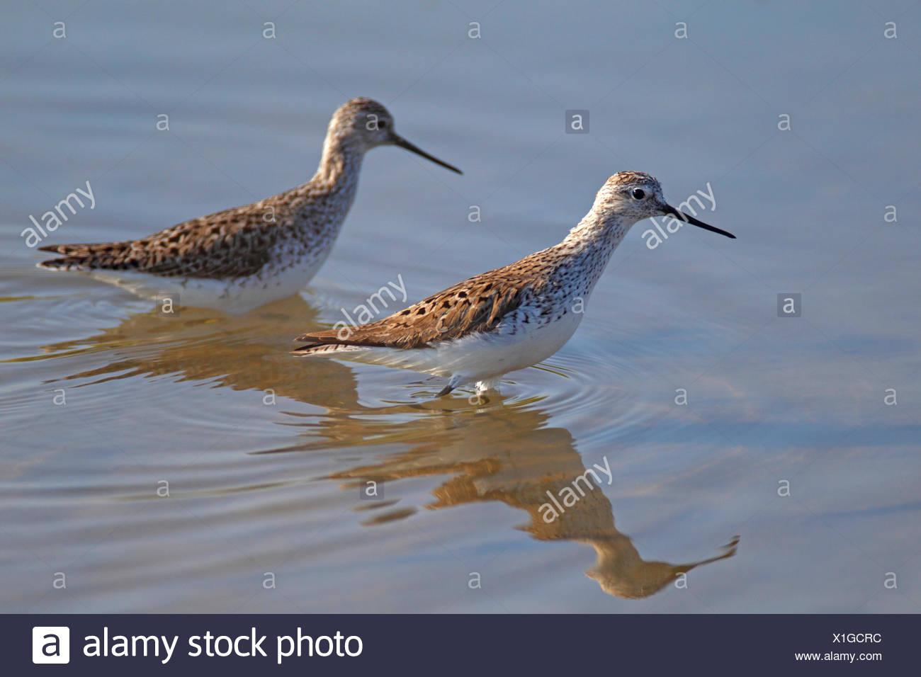 Marsh Sandpiper (Tringa Stagnatilis), zwei Vögel waten im seichten Wasser, Griechenland, Lesbos Stockbild