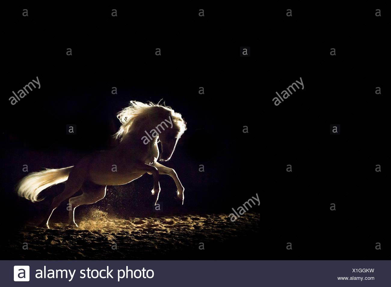Alter Real Hengst im Galopp Hintergrundbeleuchtung vor schwarzem Hintergrund Deutschland zu sehen Stockbild