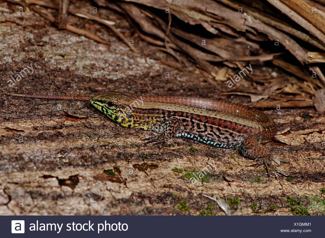Ameiva Lizard Stockfotos & Ameiva Lizard Bilder - Alamy