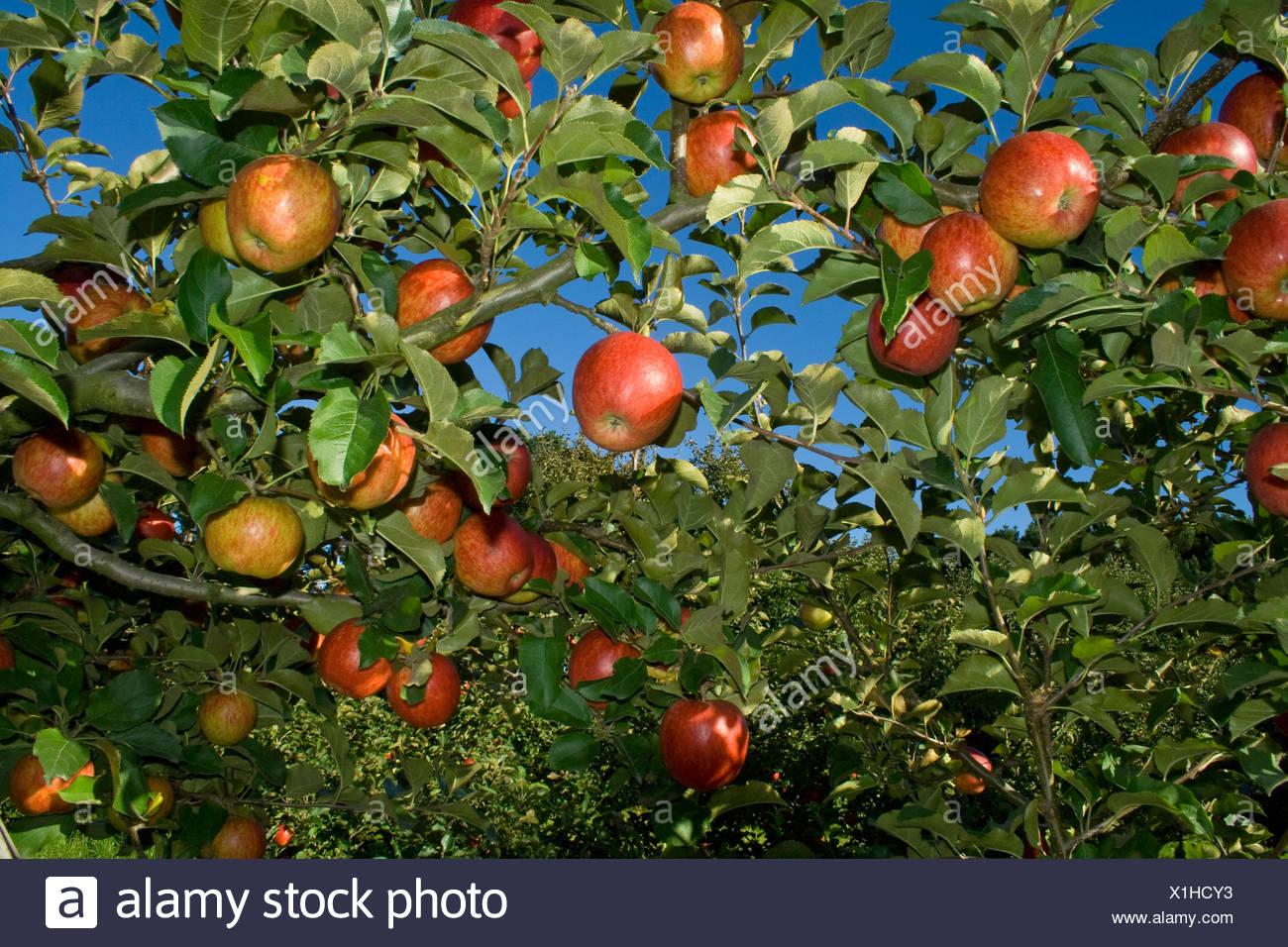 Landwirtschaft - Reife, Ernte bereit Jonagold Äpfel auf dem Baum / Fortuna, Kalifornien, USA. Stockbild