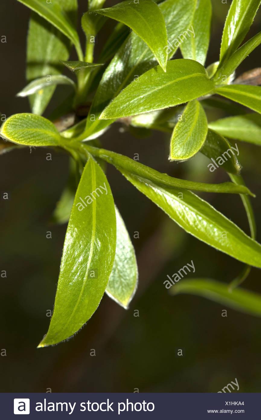 Silberweide (Salix Alba), Niederlassung Deutschland Stockbild