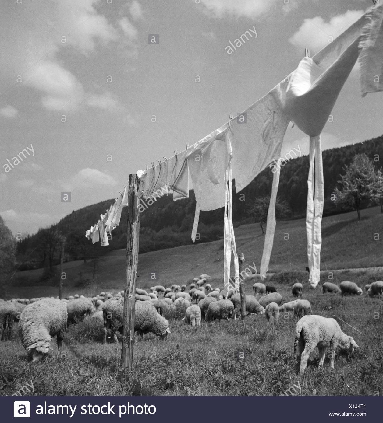 Frische Wäsche Trocknet Auf Einer Leine Zwischen Einer Herde Schafe, 1930er Jahre Deutschland. Frisch waschen trocknen zwischen einer Schafherde, Deutschland der 1930er Jahre. Stockbild