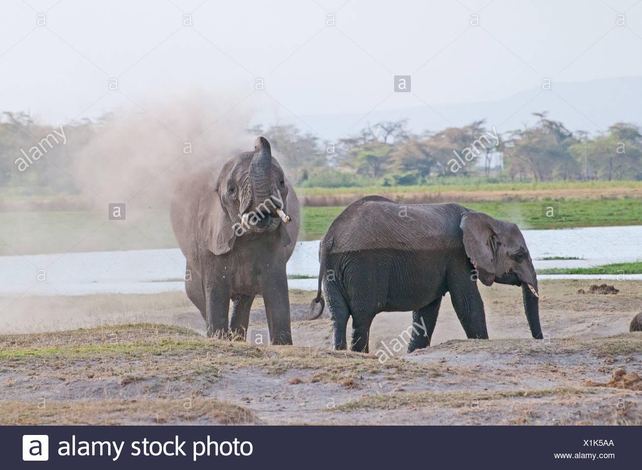 Elefanten weht Staub über sich selbst im Amboseli-Nationalpark Kenia Stockbild