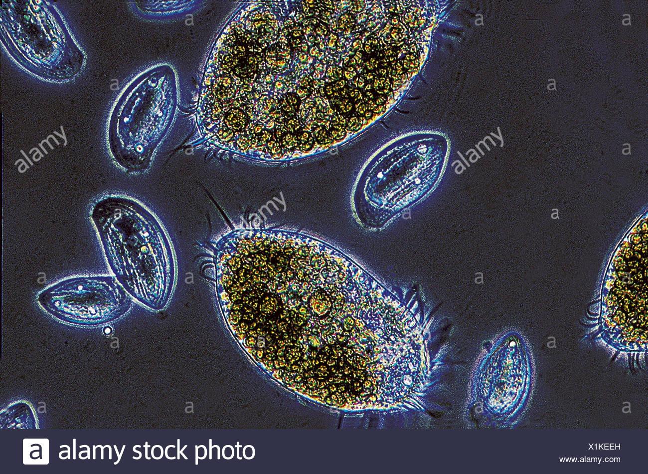 Mikroskop aufnahme borste kleines tier oxytricha goldhahnenfuß