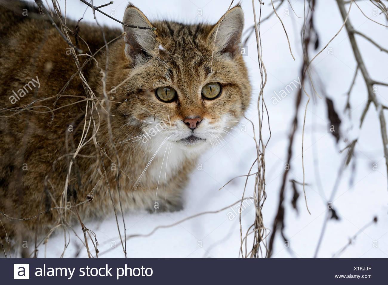 Wildkatze Predator Spiel Räuber Räuber kleine Katzen Katzen Katze Wildkatzen Felis Silvestris Wildkatzen Schnee Winter Tier, Stockbild