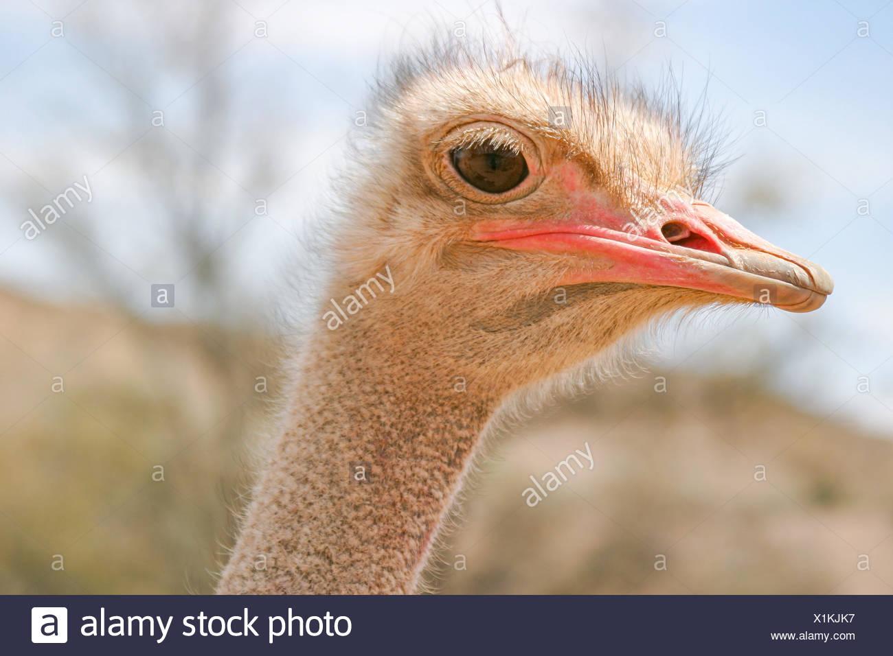 Namibia Hardap Der Afrikanische Strauß Struthio Camelus Gehört