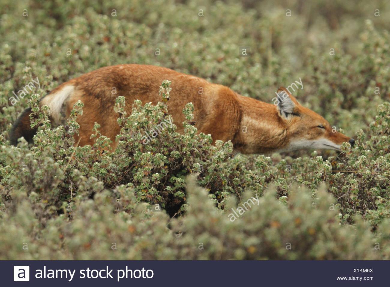 Ein Äthiopischer Wolf, Canis simensis, Spaziergänge durch die Vegetation in Bale Mountains Nationalpark. Stockbild