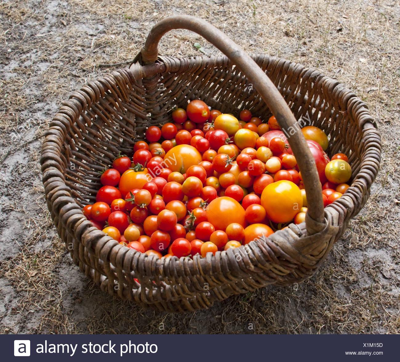 Verschiedene Tomaten nach Hause Ertrag Stockbild