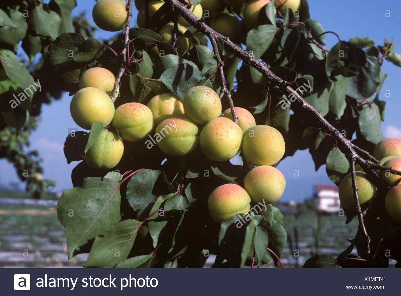 Reifenden Aprikosen Früchte auf dem Baum in der Nähe von Salerno Italien Stockbild