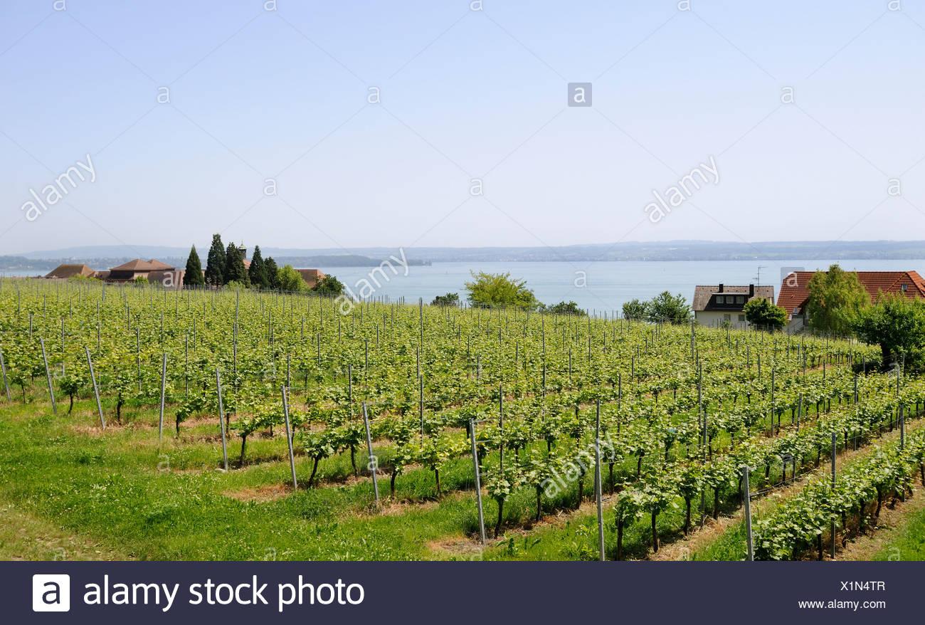 Reben, Weingut in Meersburg am Bodensee, Baden-Württemberg, Deutschland, Europa Stockbild