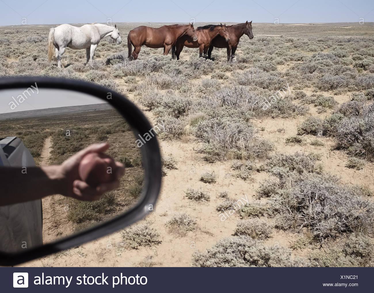 USA, Wyoming, Pferde und Reflexion von Hand mit Apple im Seitenspiegel Stockbild