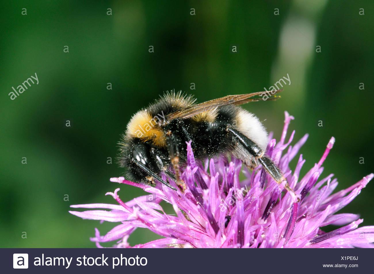 Garten Bumblebee - Bombus hortorum Stockbild
