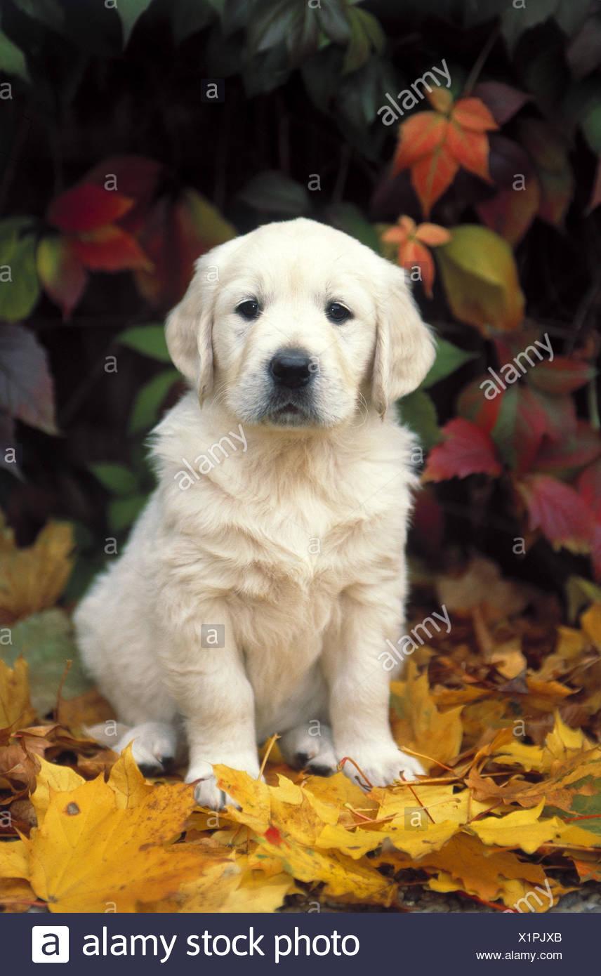 Herbst Golden Retriever Hund Tier Tiere Säugetier Säugetiere