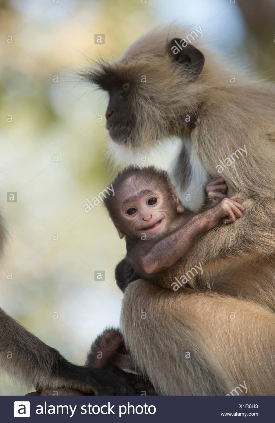 Hulman, Hanuman, indische, Affe, Asien, Tiere, Tier, Weiblich, jung, Stockbild