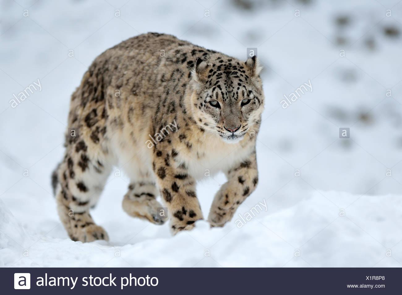 Schneeleopard (Panthera Uncia), männliche im Schnee, Gefangenschaft, Schweiz Stockbild