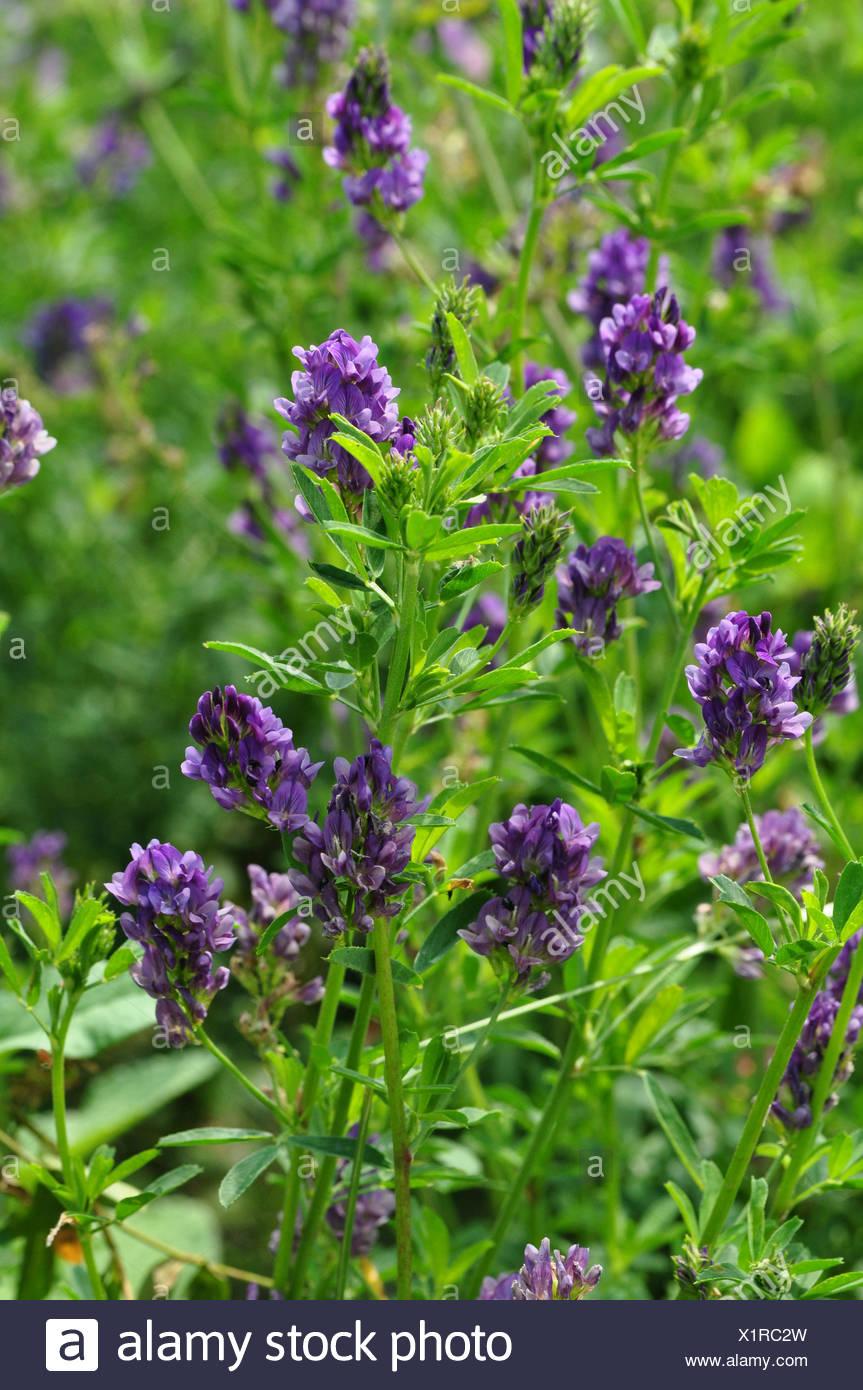 Berühmt Pflanze Luzerne Medicago Sativa Wildpflanze Bltenpflanze Pflanze #HB_53